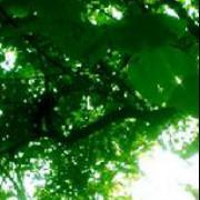 木棉的橡树
