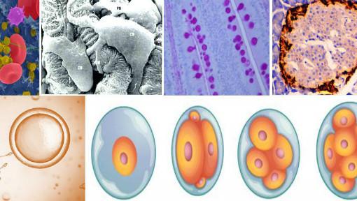 动物组织胚胎学_华中农业大学_中国大学mooc(慕课)